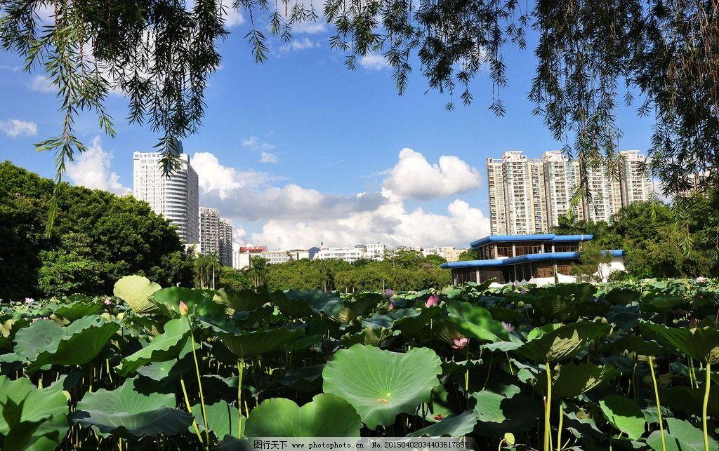 深圳 公园 荷花 高楼 蓝天 白云 洪湖公园 摄影 自然景观 山水风景