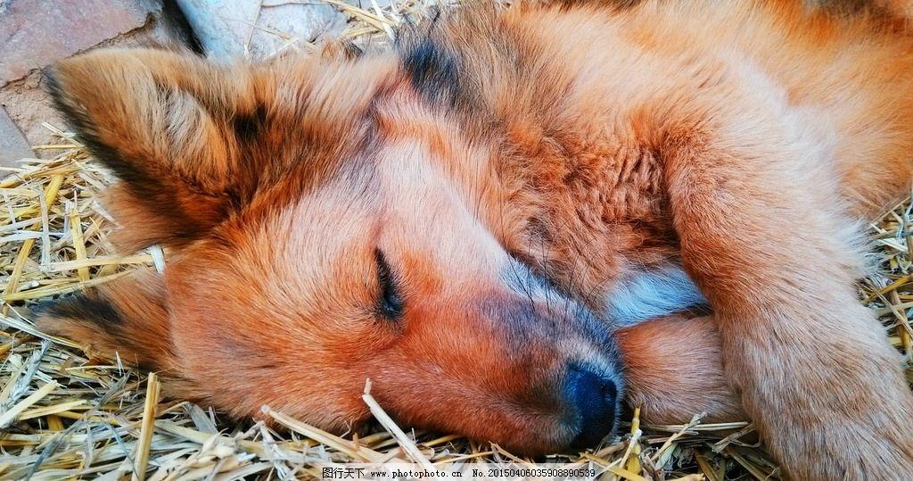 睡觉的狗 犬 黄狗 大狗 小狗 动物 狗脸 小动物集 摄影 生物世界 家禽
