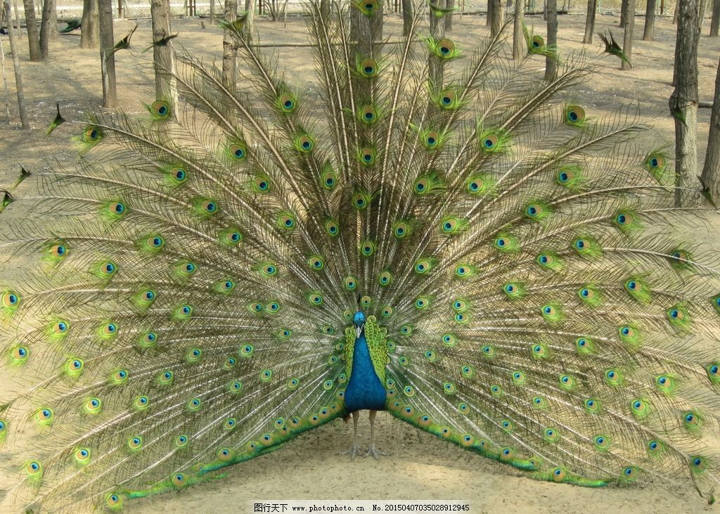孔雀开屏 绿孔雀 动物 美丽 游玩 生物世界 摄影 生物世界 野生动物