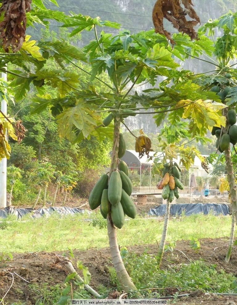 木瓜树图片