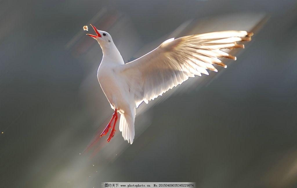 唯美 鸟类 鸟 动物 野生 海鸥 海鸟 可爱  摄影 生物世界 鸟类 300dpi