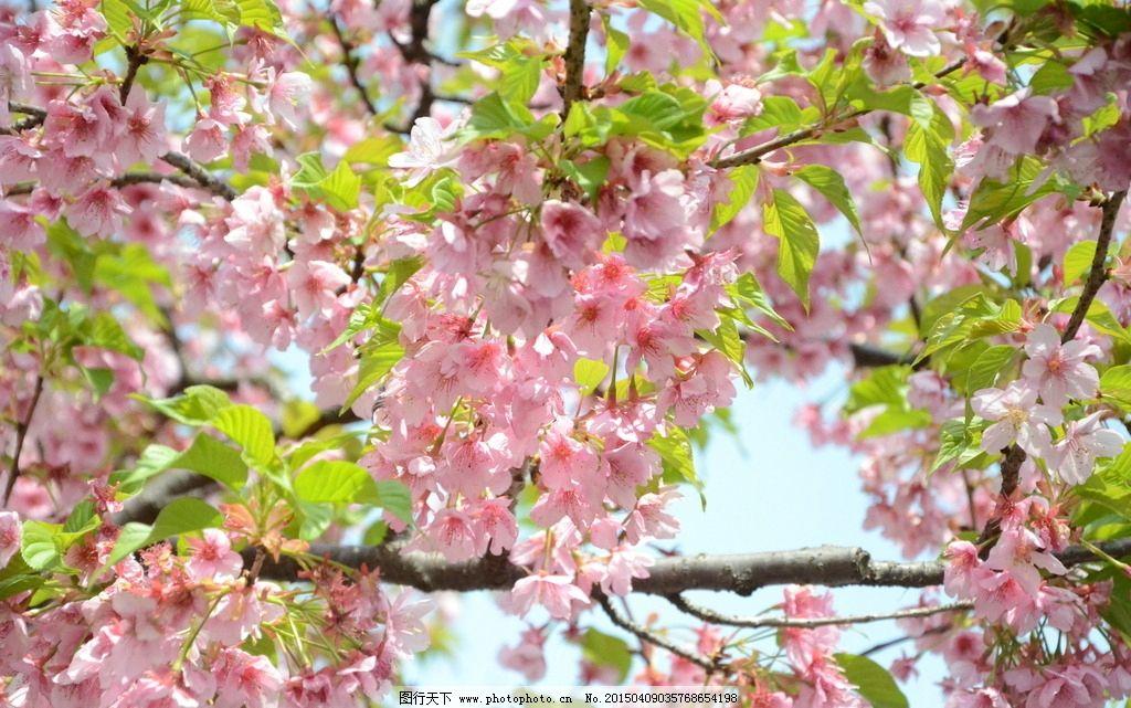 樱花 顾村公园 樱花树
