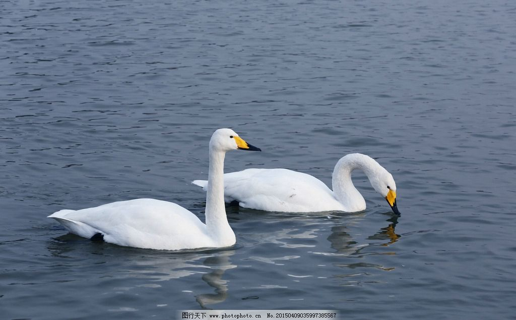 天鹅 白天鹅 湖泊 风景 水面 摄影 摄影