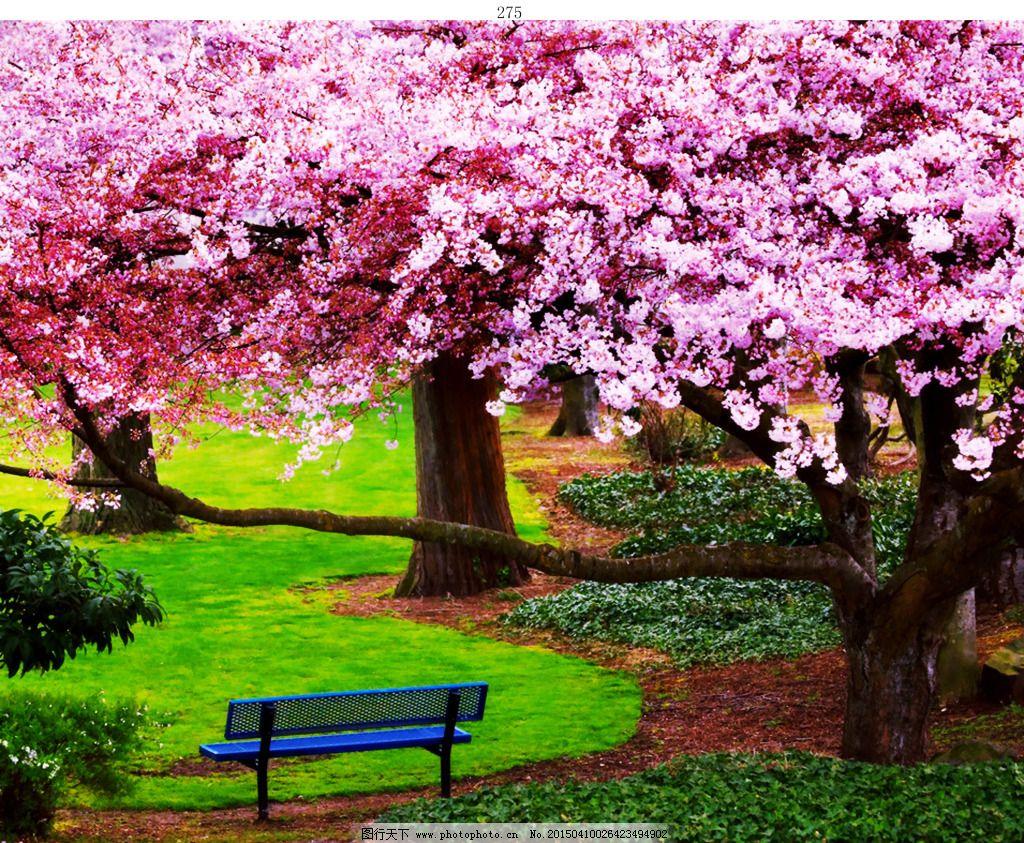樱花树免费下载 长椅 大树图片