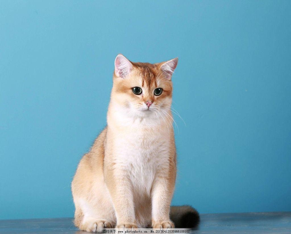 宠物猫 小猫 猫咪 花猫 猫 家禽 懒猫 宠物 家猫 动物 摄影 生物世界