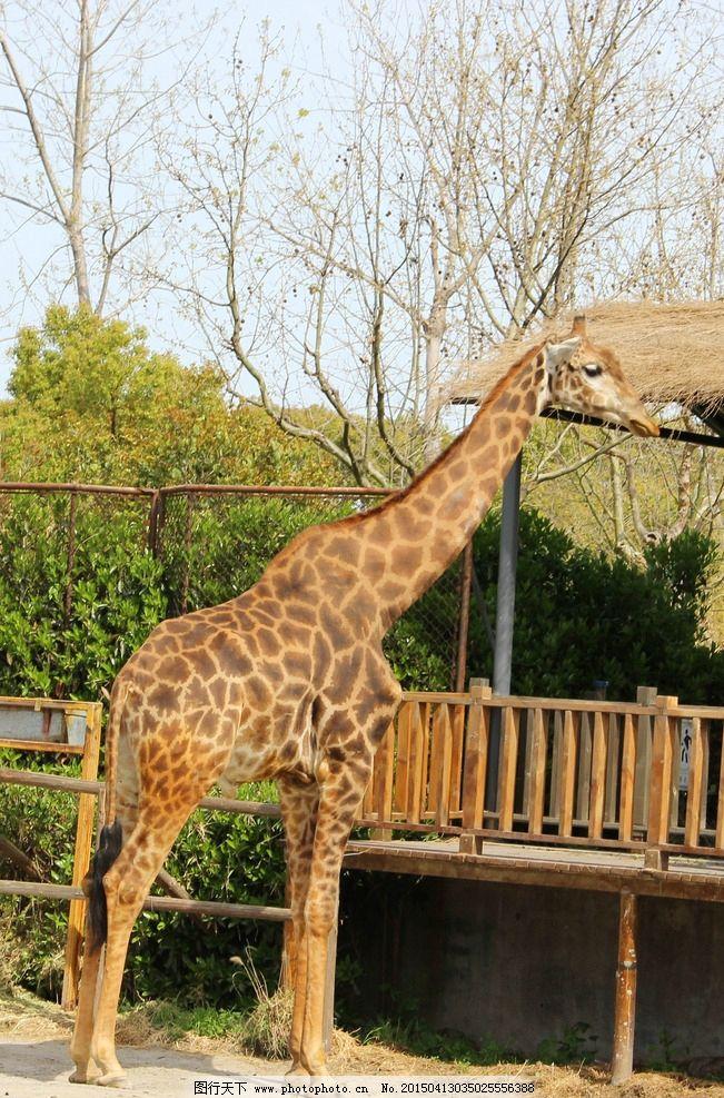 长颈鹿 动物 动物园 一只 站立长颈鹿 摄影 生物世界 野生动物 72dpi