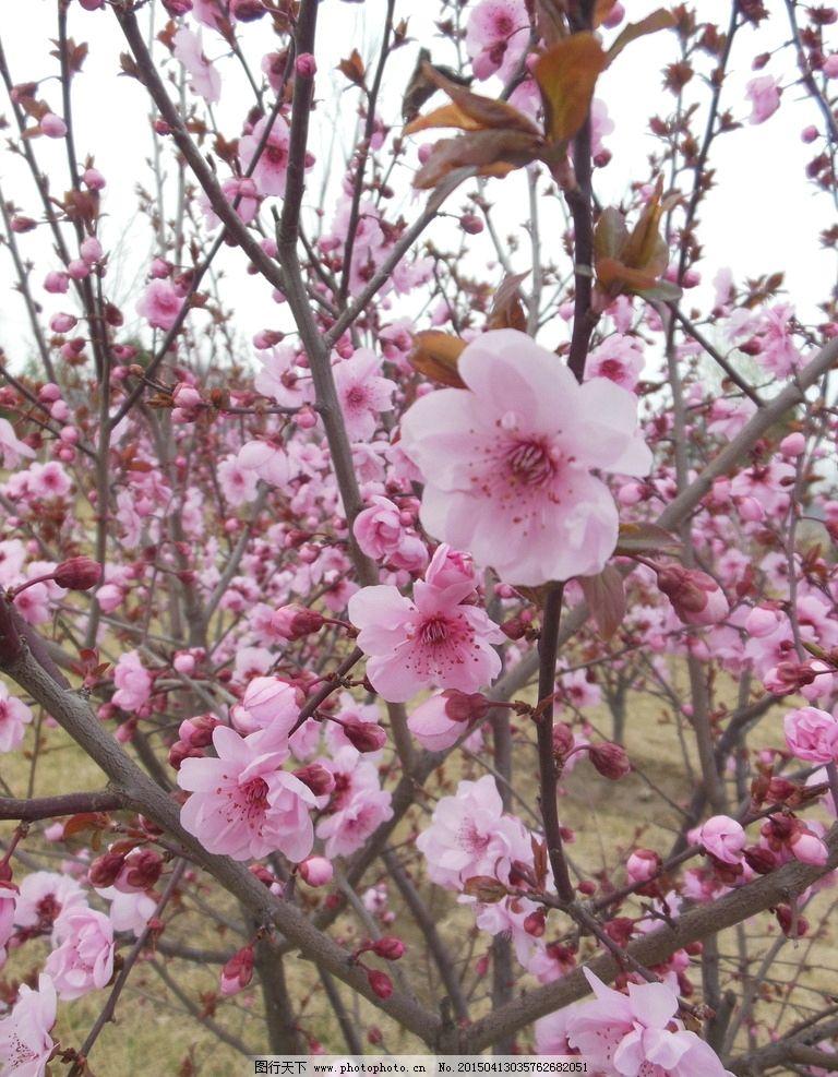 榆叶梅 榆叶梅花 鲜花 花朵 花树 粉色花 花瓣 春天 生物世界