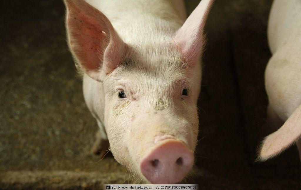 猪 乳猪 白猪 小猪 猪羔子 动物 摄影 生物世界 家禽家 摄影 生物世界