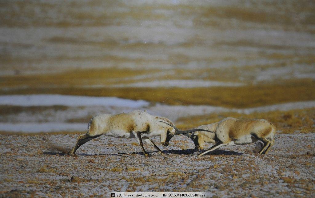 藏羚羊打架图片_野生动物