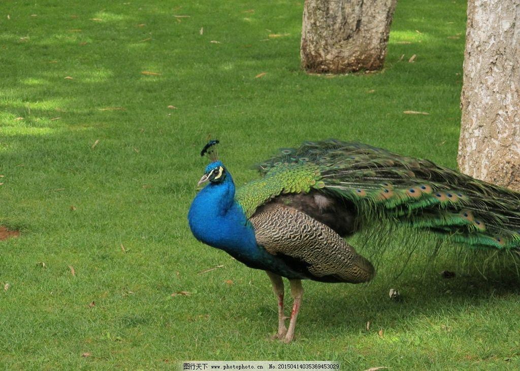 孔雀 国画素材 摄影 动物 鸟类 生物世界
