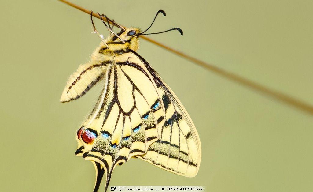 唯美 炫酷 动物 昆虫 蝴蝶 燕尾蝶 摄影 生物世界 昆虫 72dpi jpg