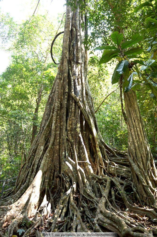 绞杀树 云南 西双版纳 热带雨林 原始森林 原创作品 摄影 生物世界