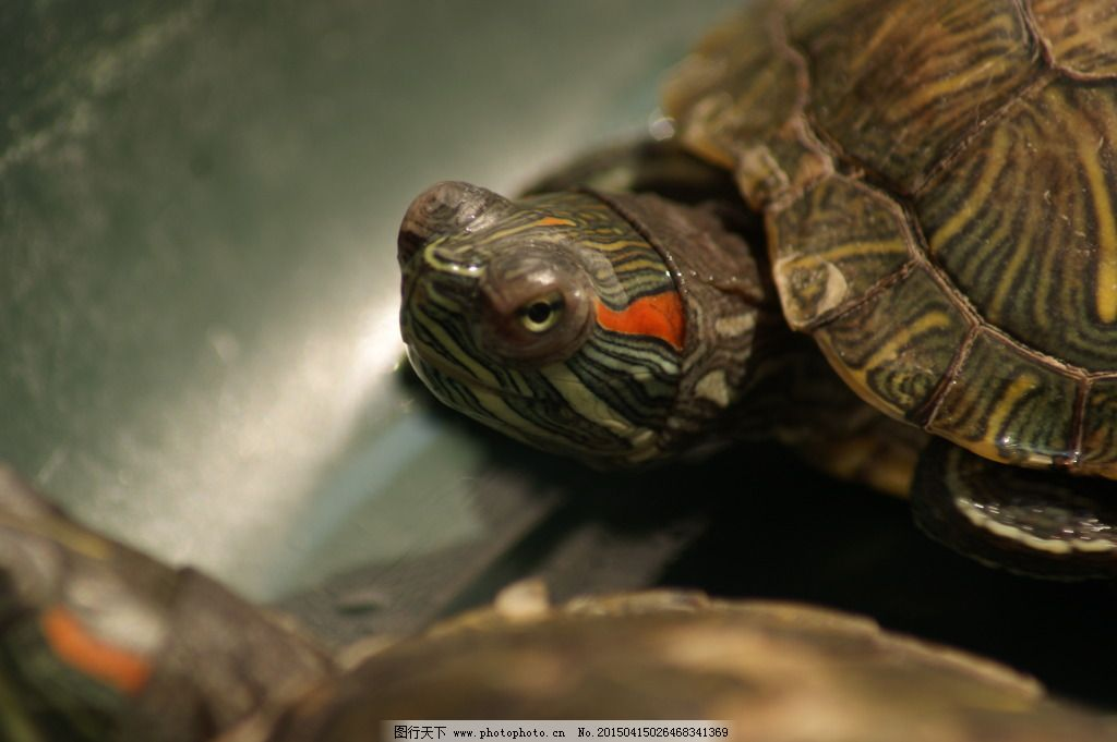 一只乌龟免费下载 动物 乌龟 可爱 图片素材 风景|生活|旅游|餐饮