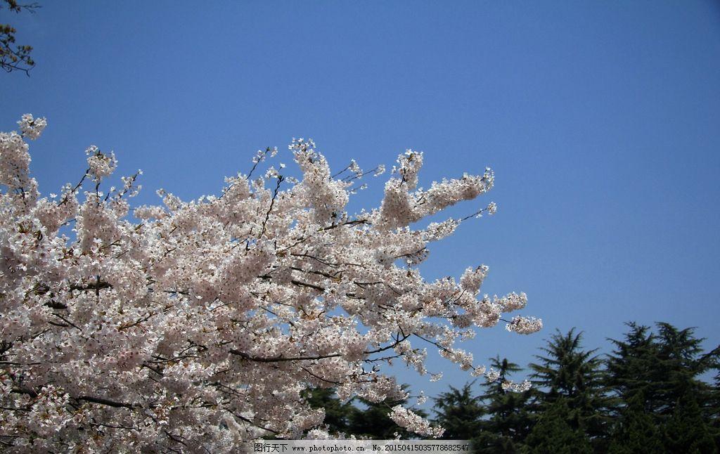 樱花摄影图片