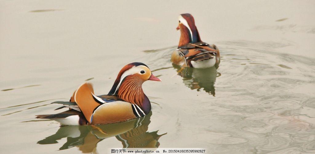 鸳鸯 池塘 动物园 恩爱 忠贞 摄影 生物世界 鸟类 300dpi jpg