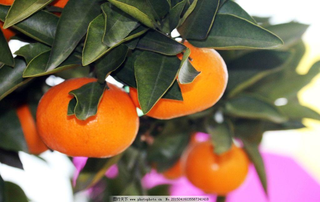 橘子 橘子树 大橘子 黄橘子树 橘 摄影 生物世界 水果 72dpi jpg