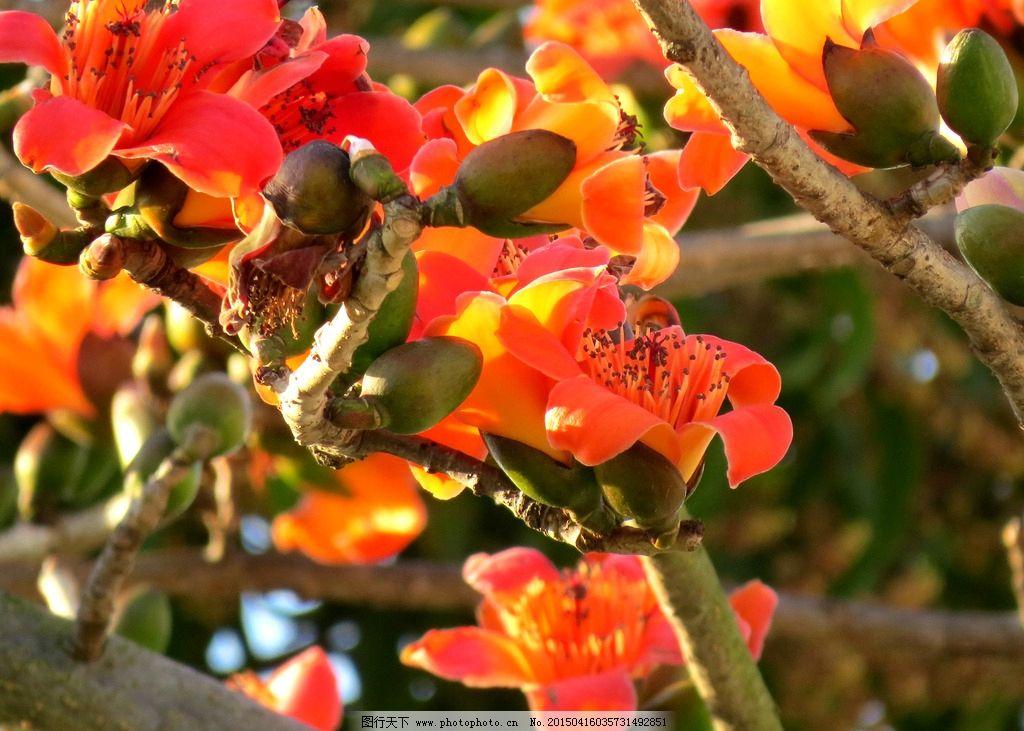 红棉花图片