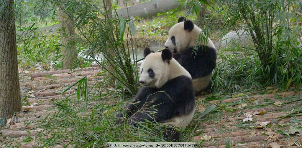 熊猫动物 旅游 秋天 九寨沟 风景 摄影