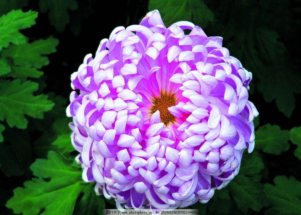 植物 花木 花朵 鲜花 紫菊花 花卉 鲜花集锦一 摄影 生物世界 花草 72