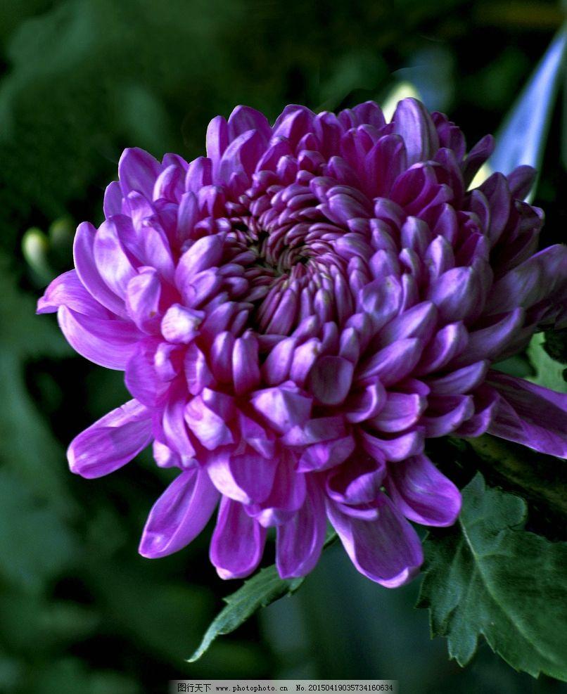植物 花木 花朵 鲜花 紫菊花 花卉 鲜花集锦一 摄影 生物世界 花草