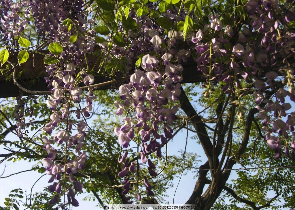 紫藤萝图片