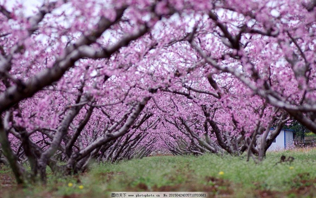桃花 粉桃花 桃花盛开 桃花枝 桃花图片 桃花素材 桃花特写 桃花树