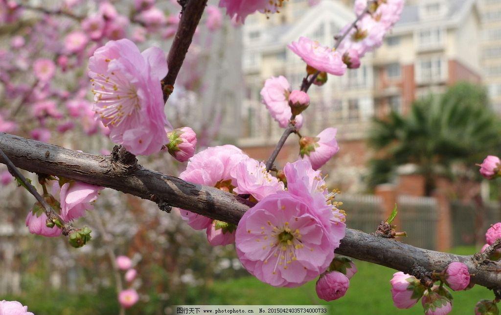桃花 鲜花 植物 风景 自然 摄影 生物世界 花草 180dpi jpg