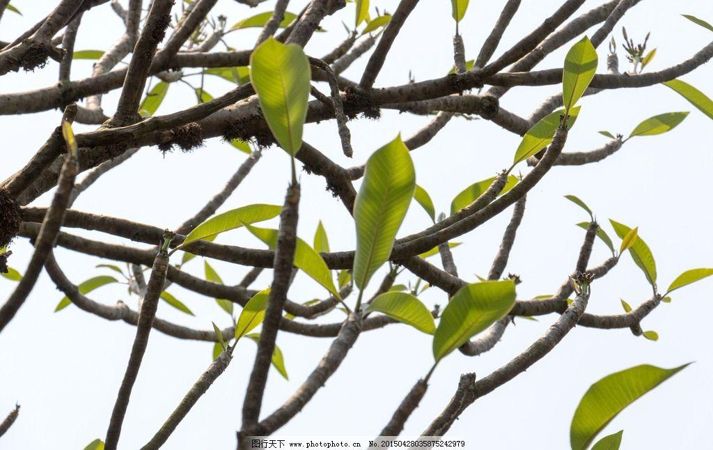 树枝 叶子 摄影 园林 天空 树 佛山梁园 摄影 生物世界 树木树叶 300图片