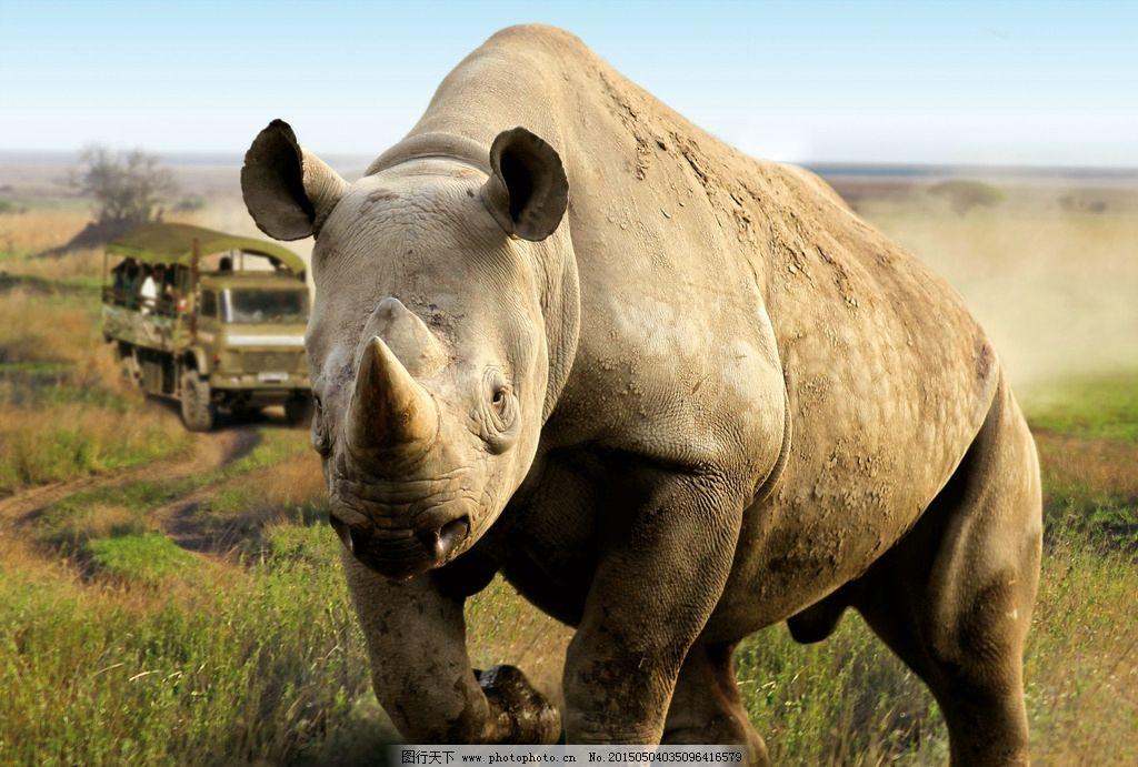 犀牛 野生动物 自然保区 非洲草原 哺乳动物 犀角 摄影 生物世界 野生