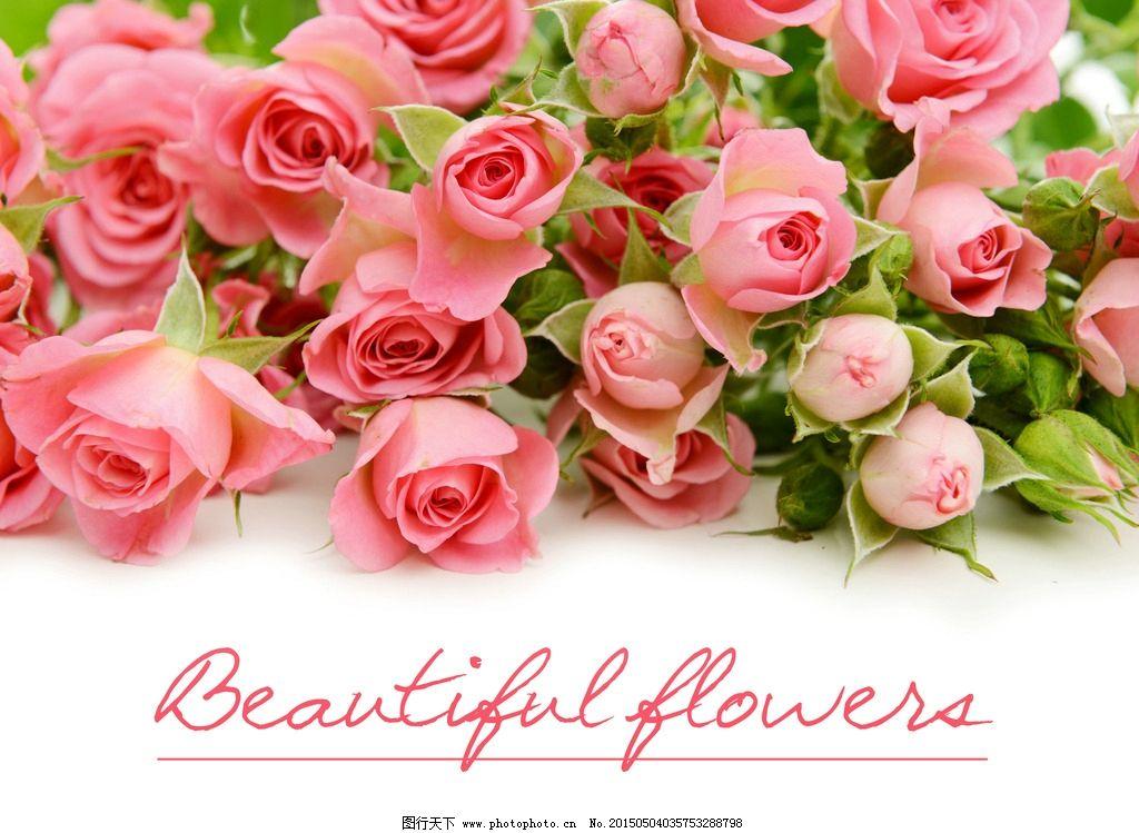 浪漫粉玫瑰 唯美 玫瑰花 植物 自然 鲜花 花卉 花朵 爱情 摄影