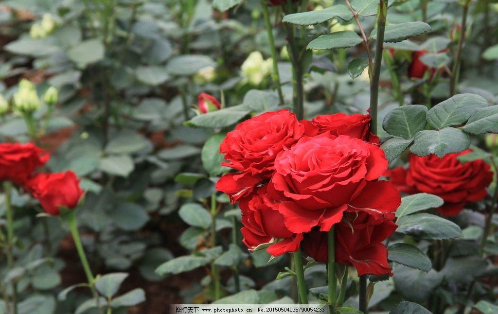 玫瑰小镇 雨露玫瑰花 雨露 玫瑰花图片 鲜花 花 花瓣 玫瑰 绿叶 漂亮