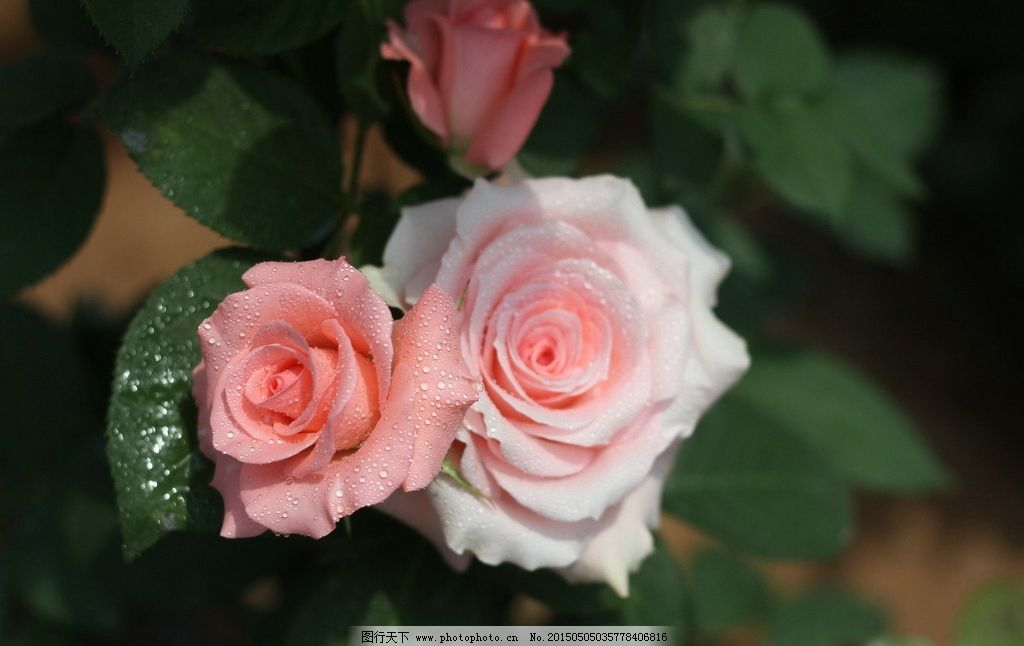 雨露玫瑰花 雨露 玫瑰花图片 鲜花 花 花瓣 玫瑰 绿叶 漂亮的玫瑰花图片