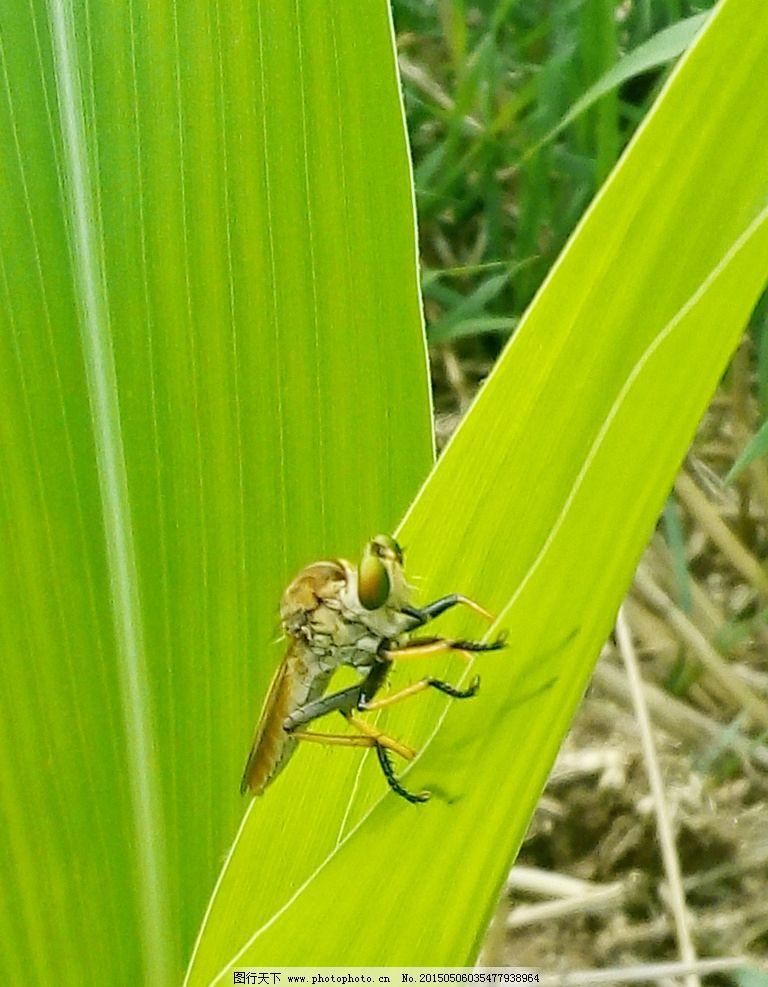玉米叶 昆虫 玉米地 叶子 绿叶 动植物 动物 植物 飞虫 摄影 生物世界