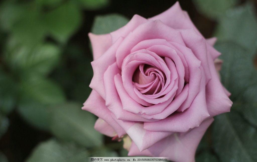 玫瑰花 雨露 玫瑰花图片 鲜花 花 花瓣 玫瑰 绿叶 花朵 花草 花卉
