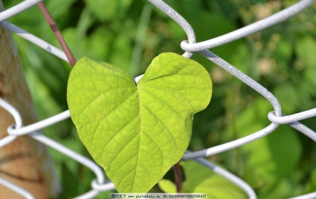 纹路清晰叶子 花草 树木树叶 生物世界 叶素材 摄影 96dpi jpg 自然