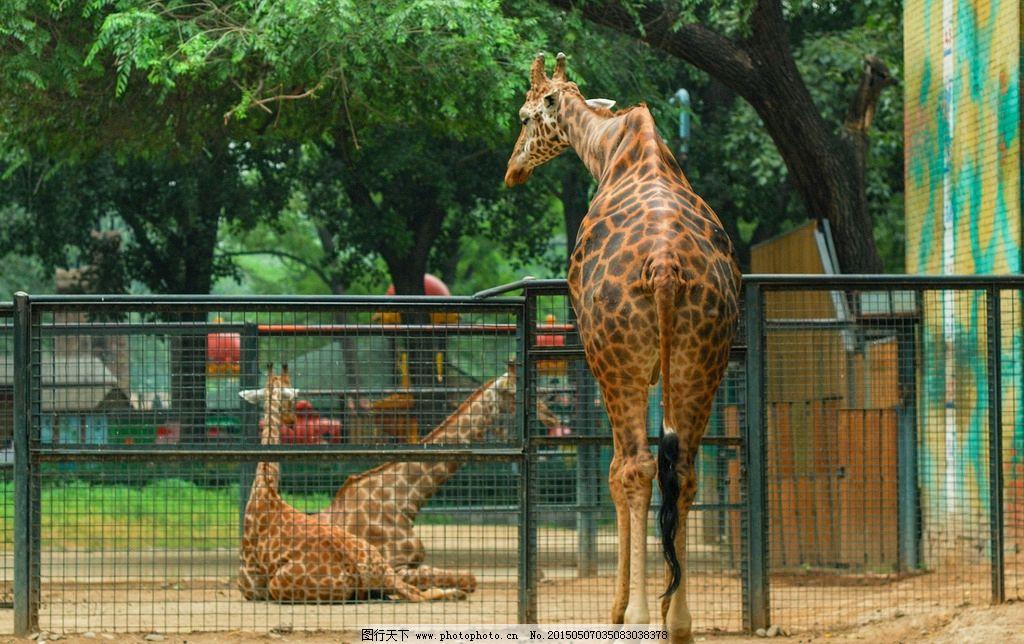 长颈鹿 动物园 野生动物 动物世界 母子  摄影 生物世界 野生动物 300