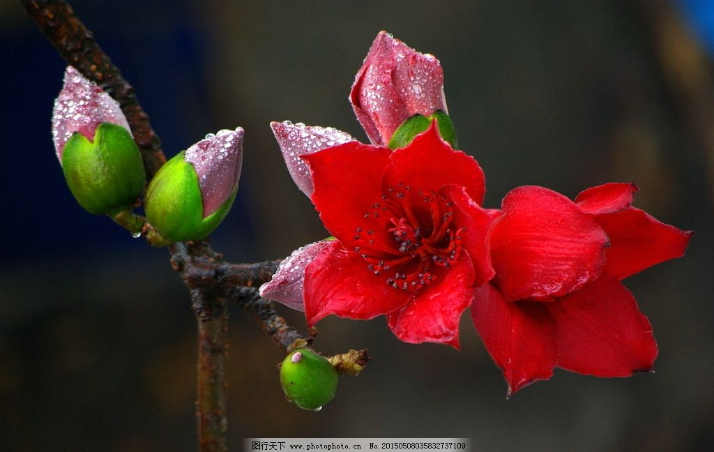 攀枝花 花朵 树木 植物 摄影 特写 超清图库