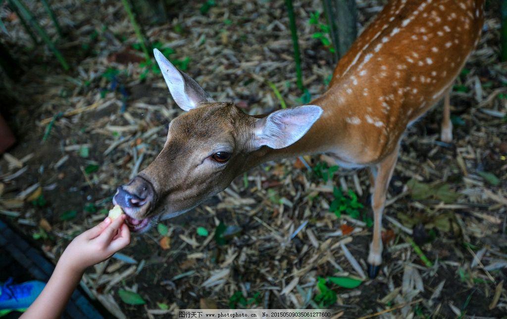 茱萸湾 江苏扬州 动物园 梅花鹿 生态园林 摄影 生物世界 野生动物