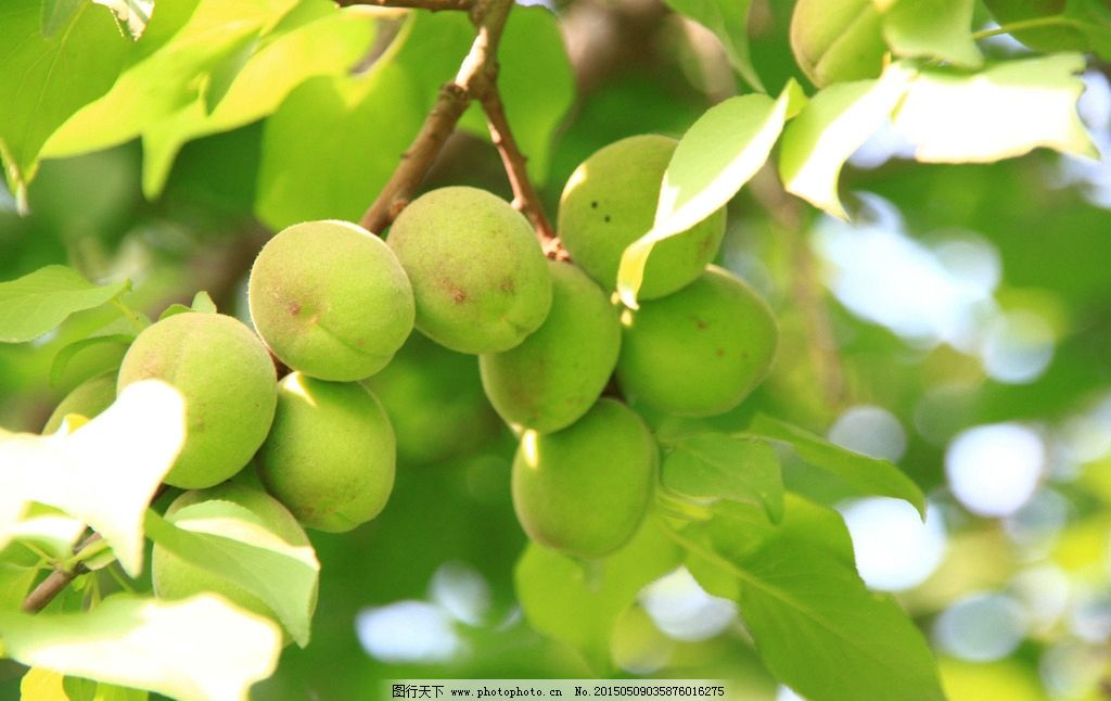 杏树 杏 绿 绿叶 红花绿叶 果实 果 摄影 生物世界 树木树叶 350dpi