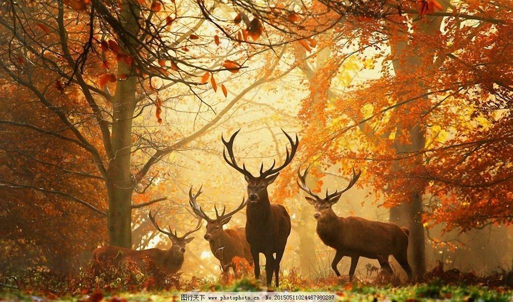 驯鹿 驯鹿王 角 森林 光线 秋天 设计 生物世界 野生动物 72dpi jpg