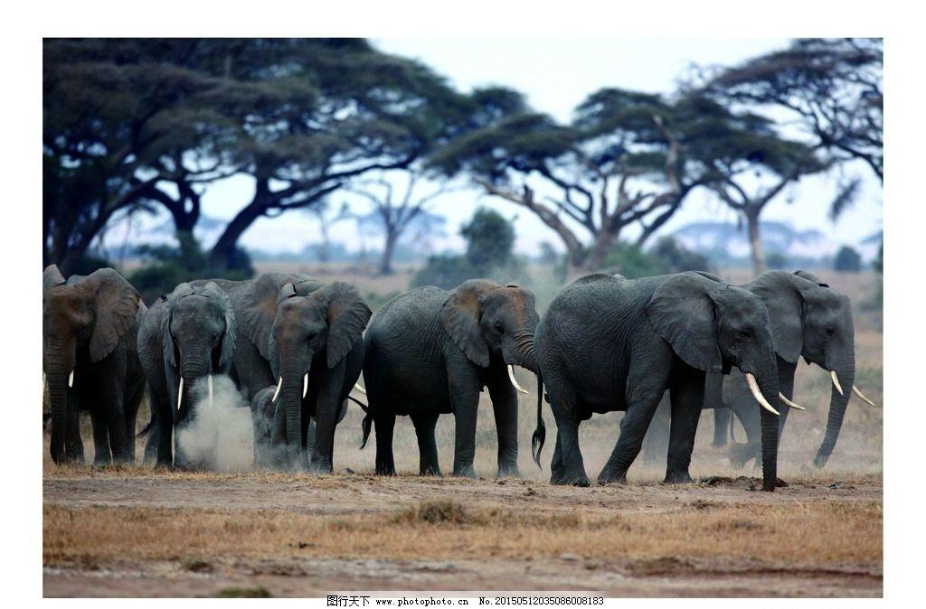 动物 大象 大自然 丛林 非州 摄影 生物世界 野生动物 600dpi jpg