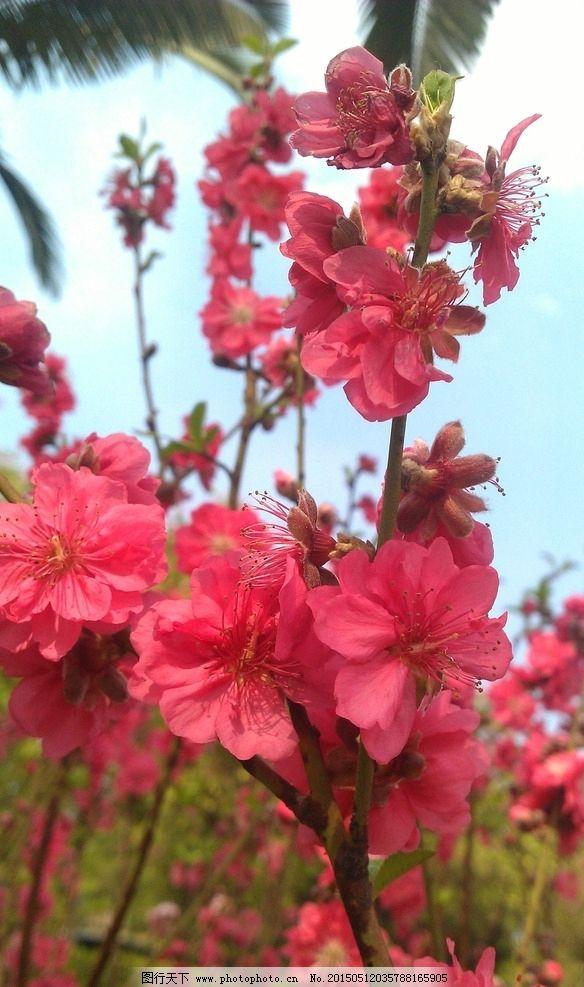 红色桃花图片