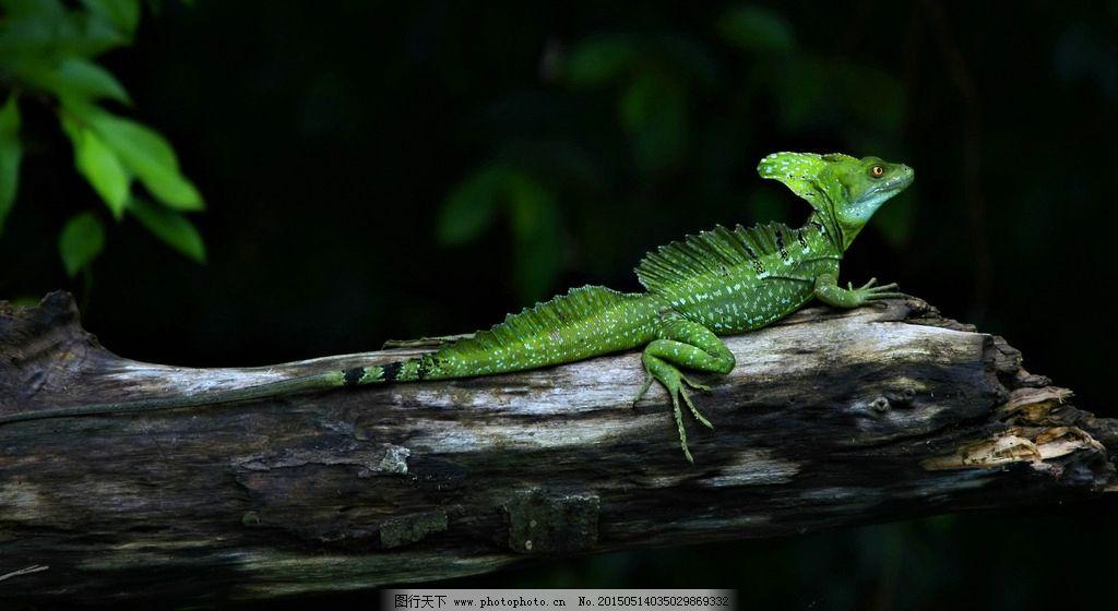 蛇怪蜥蜴 蜥蜴 爬行动物 爬行 动物 摄影 生物世界 野生动物 72dpi