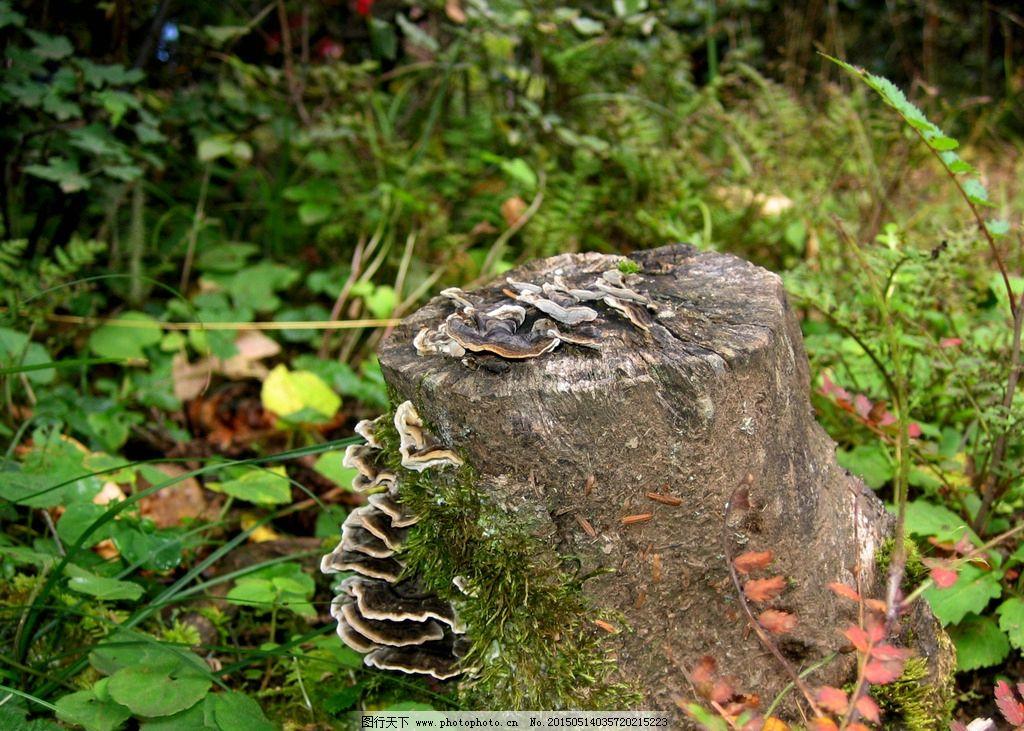野生菌 菌类 野外 森林 树桩  摄影 生物世界 花草 180dpi jpg