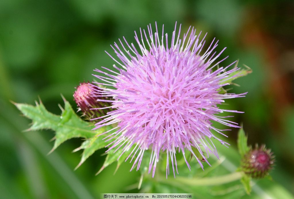 蒲公英 紫色花 花球 春天 含苞待放 摄影 自然景观 山水风景 300dpi