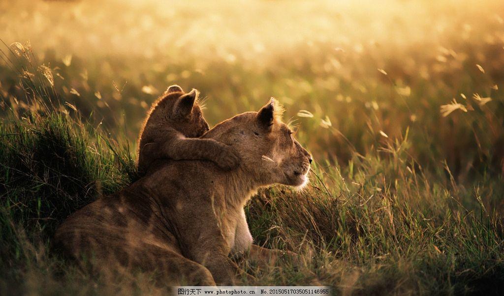 休息的狮子图片_野生动物_生物世界_图行天下图库