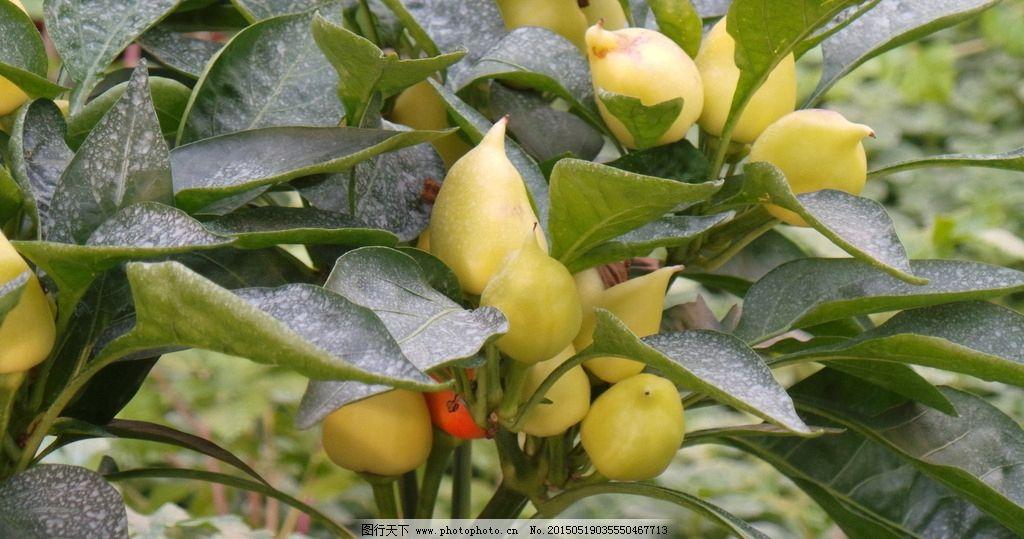 人参果 果实 水果 蔬菜 植物 摄影 摄影 生物世界 水果 72dpi jpg