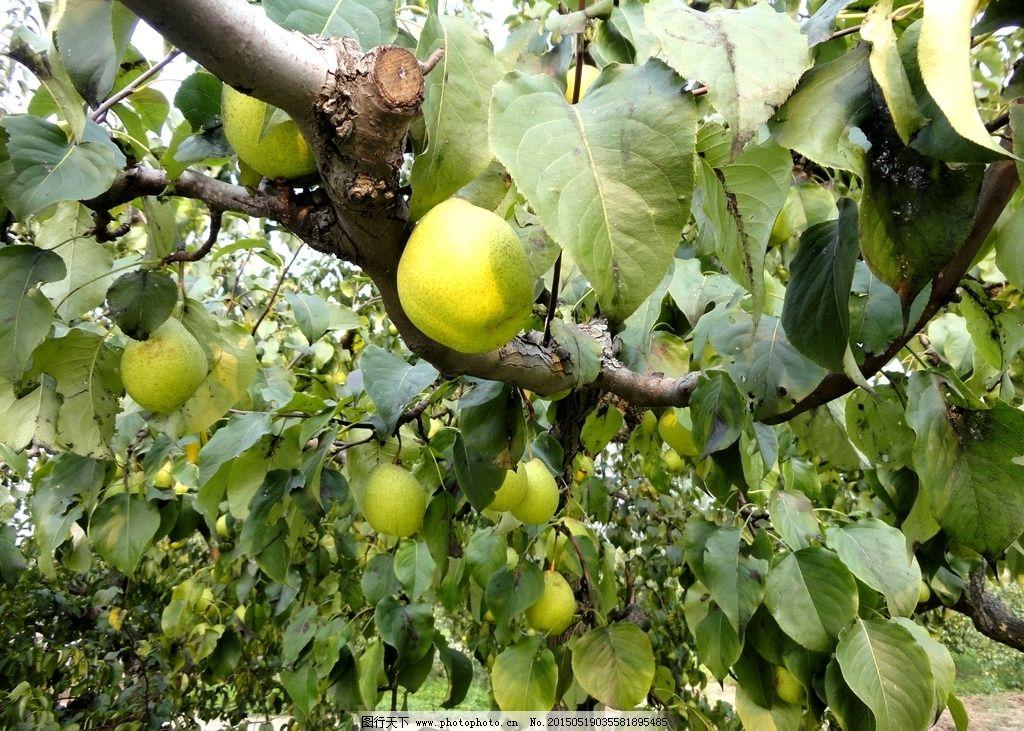梨子 水果 果实 梨树 梨园 枝叶 梨园风光 摄影 生物世界 水果 72dpi