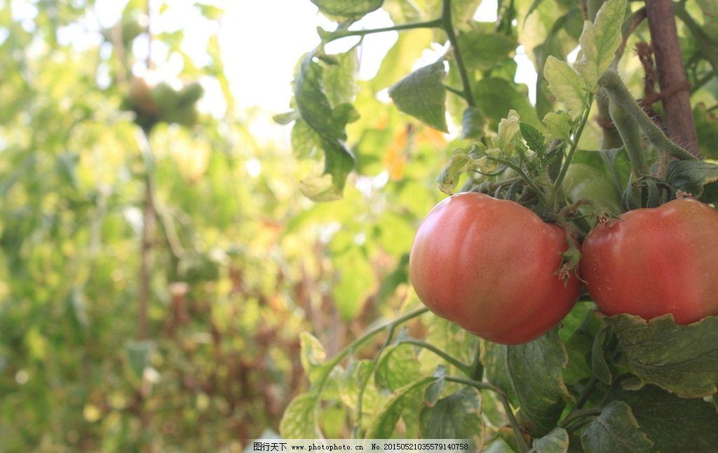西红柿 蔬菜 果园 秋天 果实 红色 丰收 采摘  摄影 生物世界 水果 72