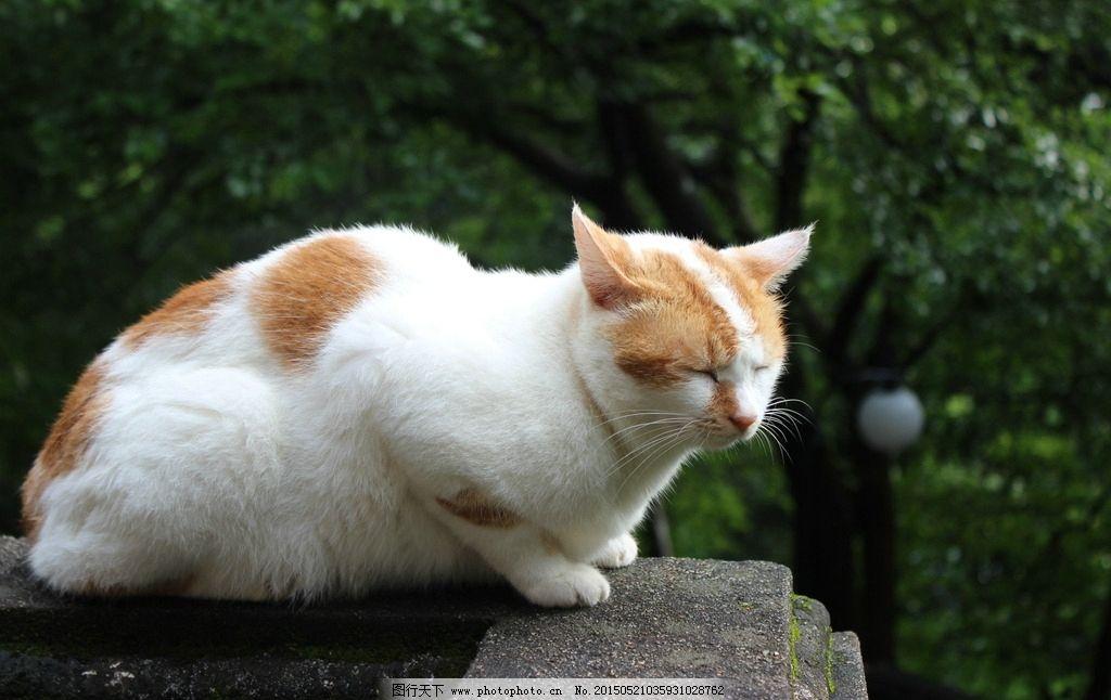 白色猫 猫咪 乖猫 安静的猫 可爱 睡觉 眯着眼 摄影 生物世界 家禽